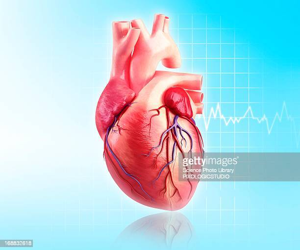 human heart, artwork - anatomy stock illustrations