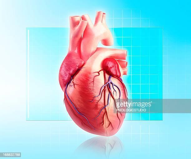 illustrations, cliparts, dessins animés et icônes de human heart, artwork - coeur organe interne