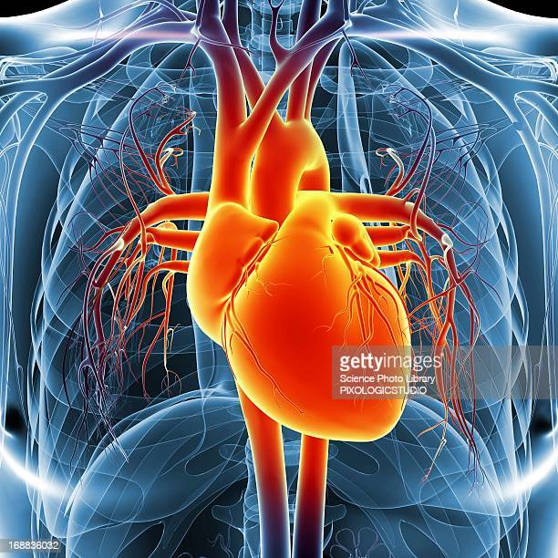 human heart, artwork - human body part stock illustrations