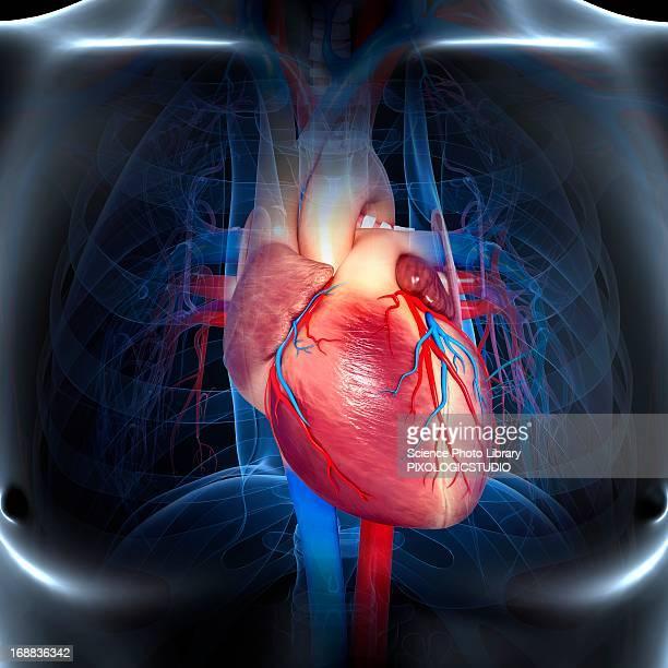 ilustraciones, imágenes clip art, dibujos animados e iconos de stock de human heart, artwork - sistema circulatorio