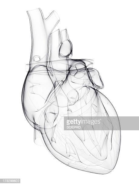 human heart, artwork - blood vessel stock illustrations, clip art, cartoons, & icons