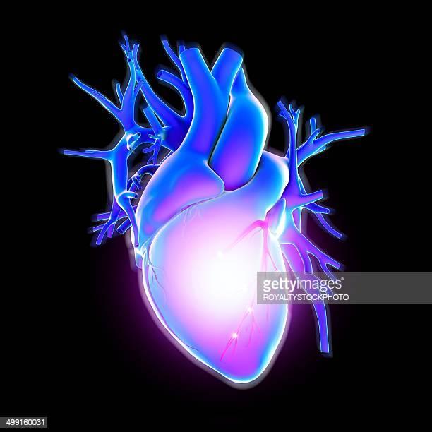 human heart, artwork - biomedical illustration stock illustrations