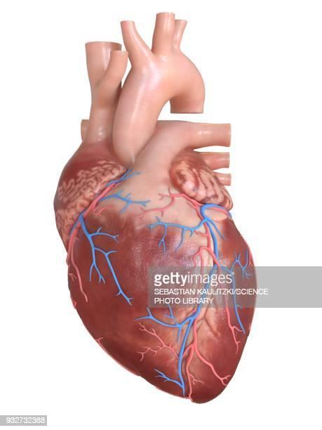 illustrations, cliparts, dessins animés et icônes de human heart coronary veins, illustration - coeur humain