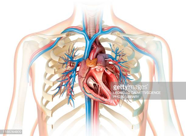 human heart cross-section, illustration - heart ventricle stock illustrations