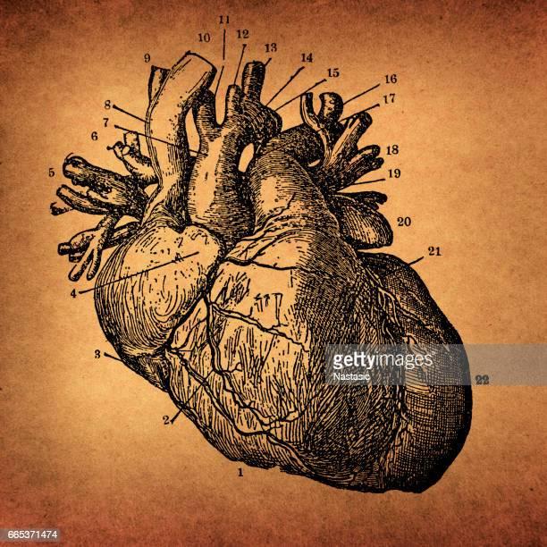 Human Heart Engraving