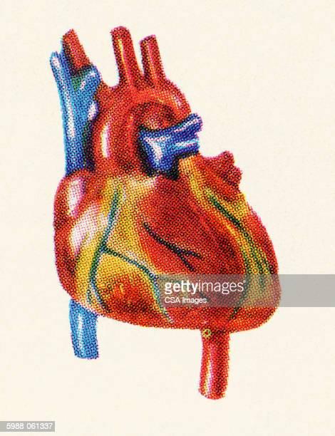 human heart - image stock illustrations