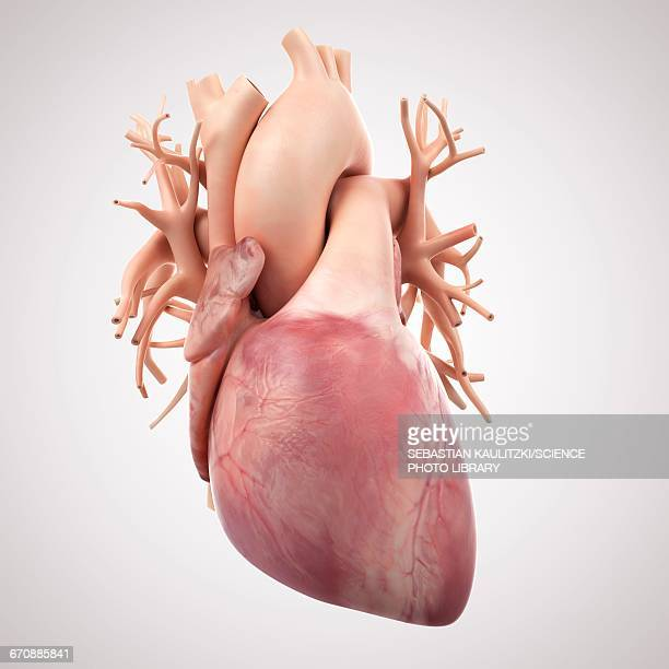 human heart - anatomy stock illustrations