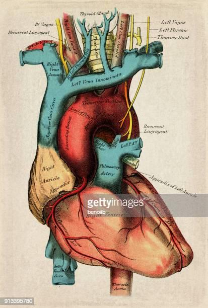 human heart - thyroid gland stock illustrations, clip art, cartoons, & icons