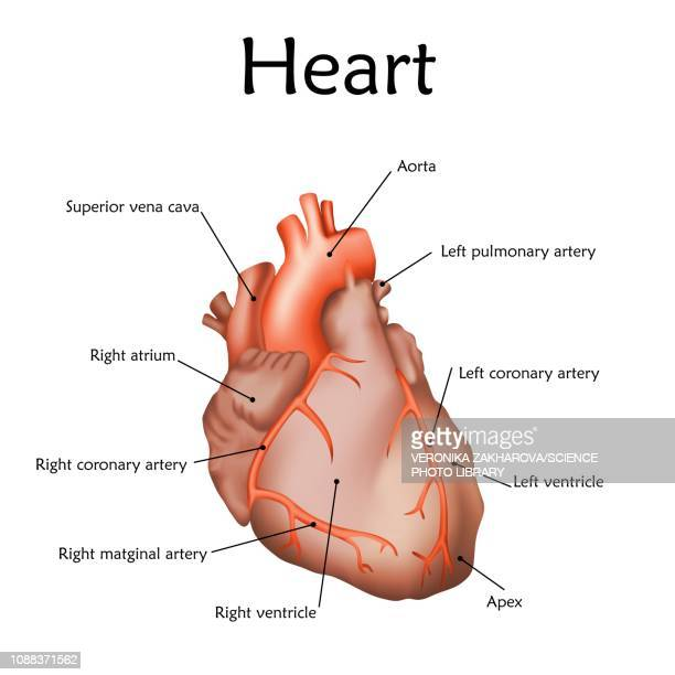 human heart, illustration - coronary artery stock illustrations, clip art, cartoons, & icons