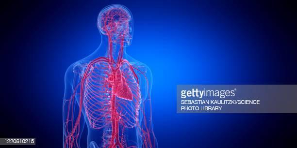 human heart, illustration - the human body stock illustrations