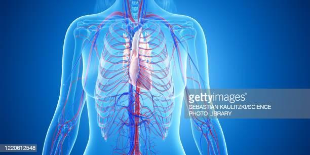 human heart, illustration - anatomy stock illustrations