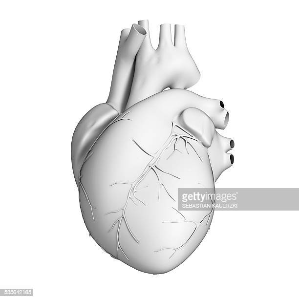 human heart, illustration - anatomy stock illustrations