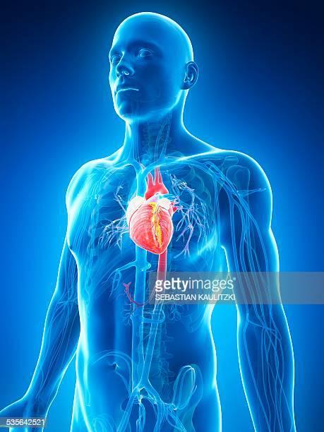 illustrations, cliparts, dessins animés et icônes de human heart, illustration - coeur humain