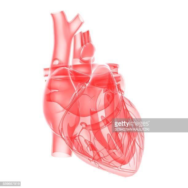 human heart, illustration - biomedical illustration stock illustrations