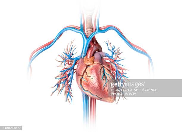 human heart with bronchial tree, illustration - cardiologist stock illustrations