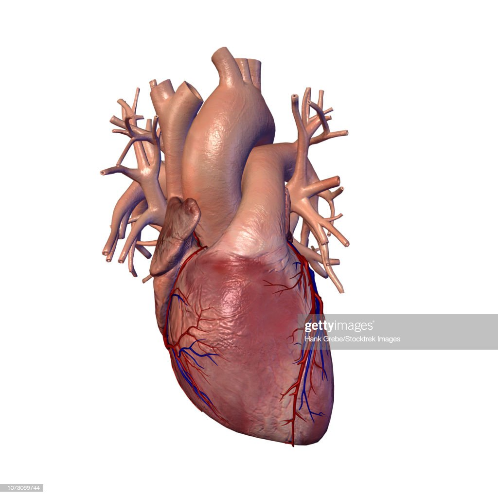 Human Heart With Coronary Arteries And Veins Stock Illustration