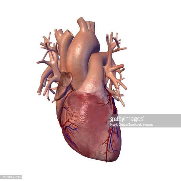human heart with coronary arteries and veins. - cardiopulmonary system stock illustrations, clip art, cartoons, & icons