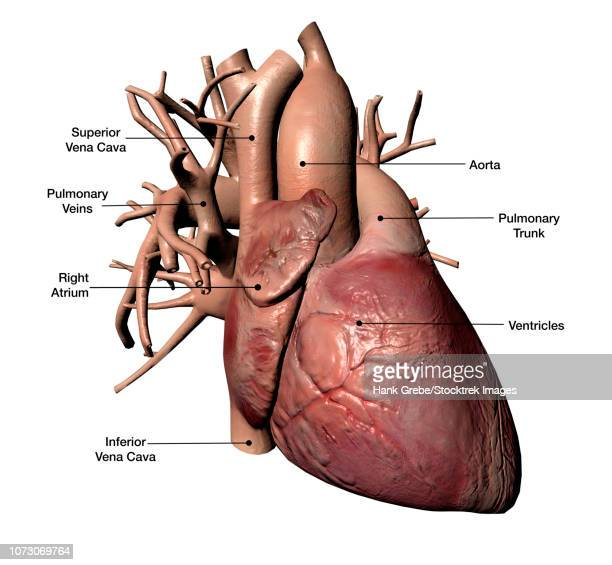 human heart with coronary arteries, with labels. - myocardium stock illustrations, clip art, cartoons, & icons