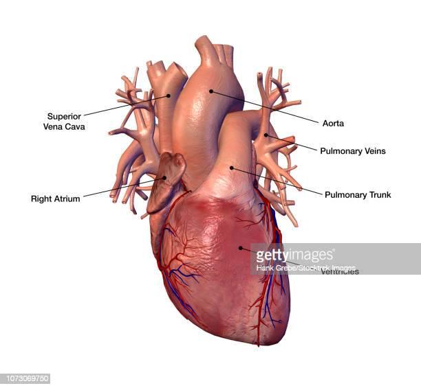 human heart with labels. - myocardium stock illustrations, clip art, cartoons, & icons