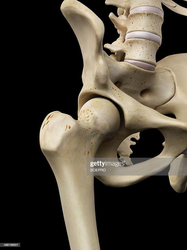 Human Hip Bone Artwork Stock Illustration Getty Images