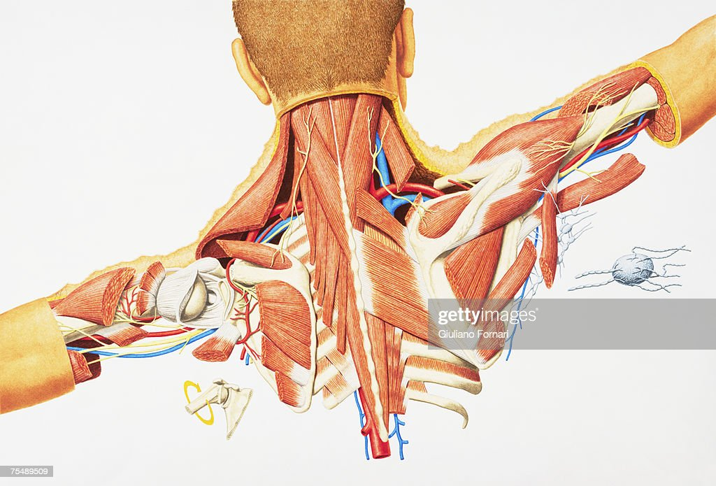 Human Internal Anatomy Of Upper Back Male Stock Illustration | Getty ...
