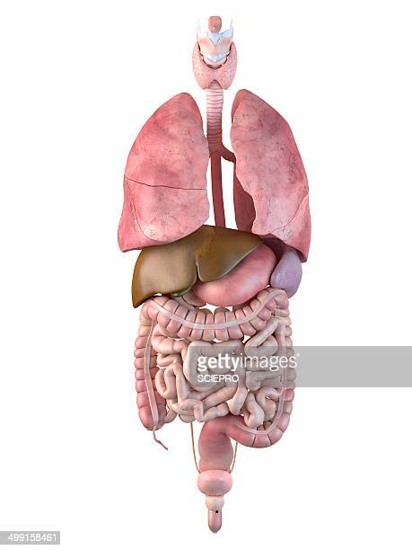 human internal organs, artwork - human small intestine stock illustrations