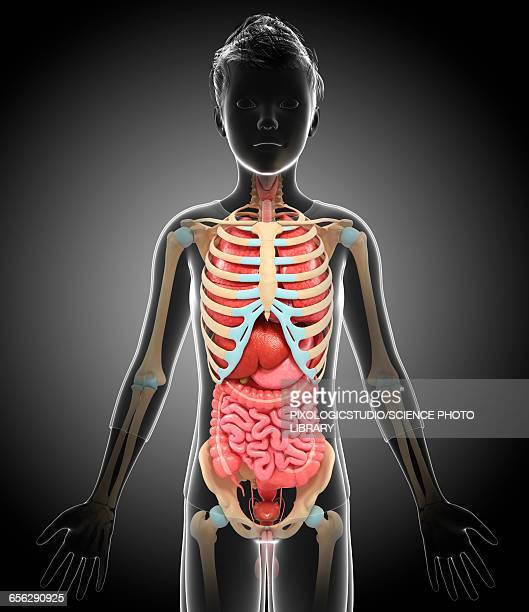 Skeleton Rib Cage Stock Photos And Pictures Getty Images
