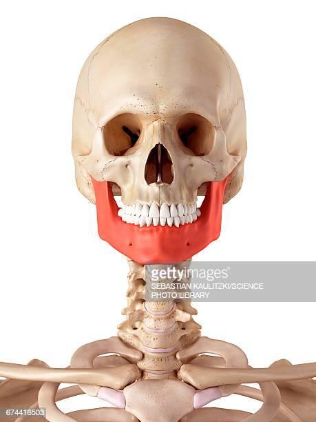 ilustrações, clipart, desenhos animados e ícones de human jaw bone - parte do corpo humano