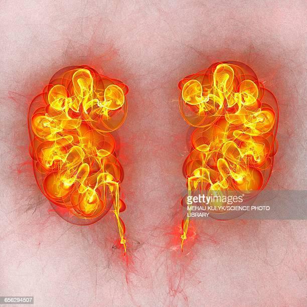 human kidneys, illustration - human kidney stock illustrations, clip art, cartoons, & icons