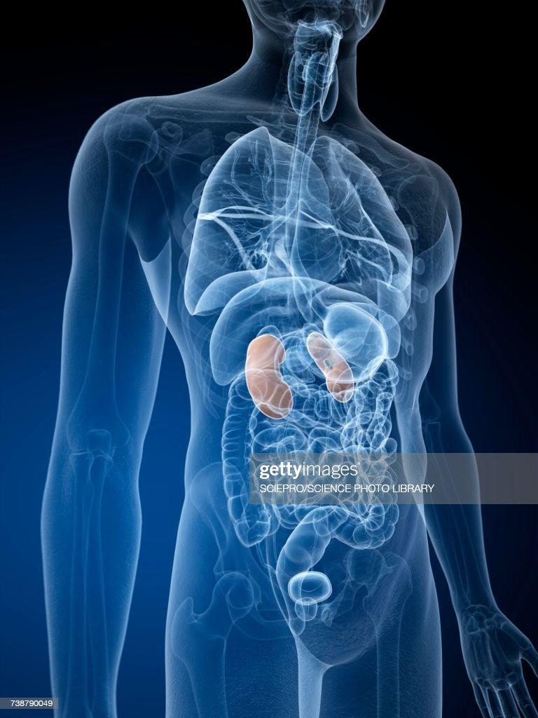 Human kidneys, illustration : stock illustration