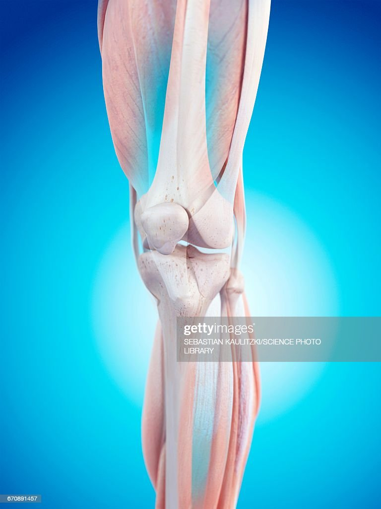 Human Knee Anatomy Stock Illustration Getty Images