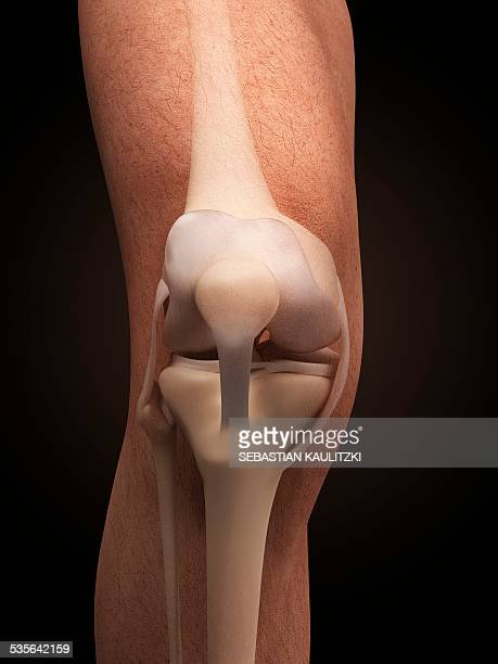 Cartilage Stock Illustrations And Cartoons Getty Images