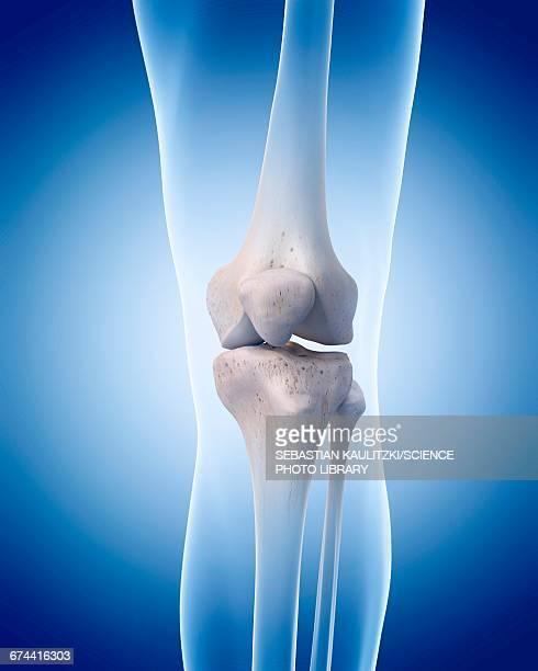 Human knee bones