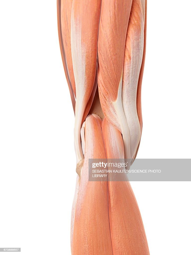 Human Knee Muscles Stock Illustration Getty Images