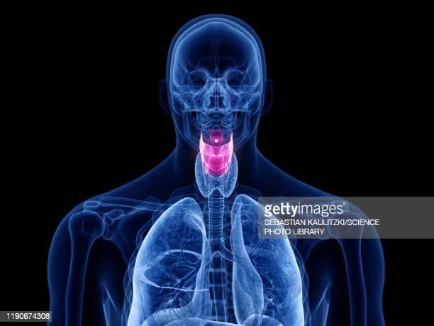 ilustraciones, imágenes clip art, dibujos animados e iconos de stock de human larynx, illustration - cuerdas vocales
