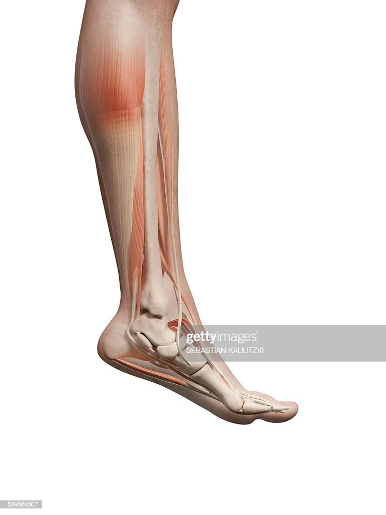 Human Leg And Foot Anatomy Illustration Stock Illustration | Getty ...