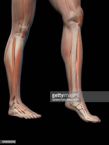 ilustrações, clipart, desenhos animados e ícones de human leg and foot anatomy, illustration - perna humana