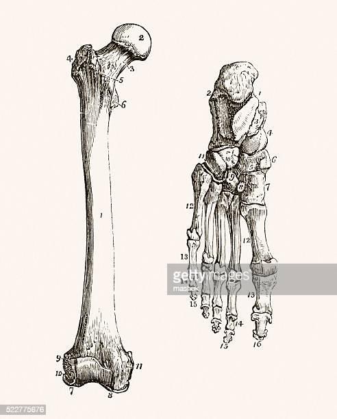 ilustraciones, imágenes clip art, dibujos animados e iconos de stock de pierna humana y pie de los huesos médico medio siglo 19 - femur