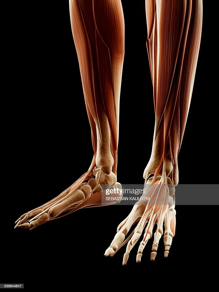 Human Leg And Foot Muscles Illustration Stock Illustration Getty
