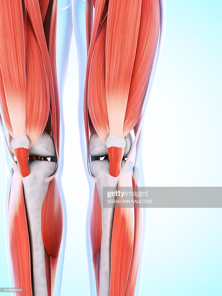 Human Leg And Knee Muscles Artwork Stock Illustration Getty Images