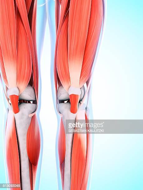 human leg and knee muscles, artwork - 靭帯点のイラスト素材/クリップアート素材/マンガ素材/アイコン素材