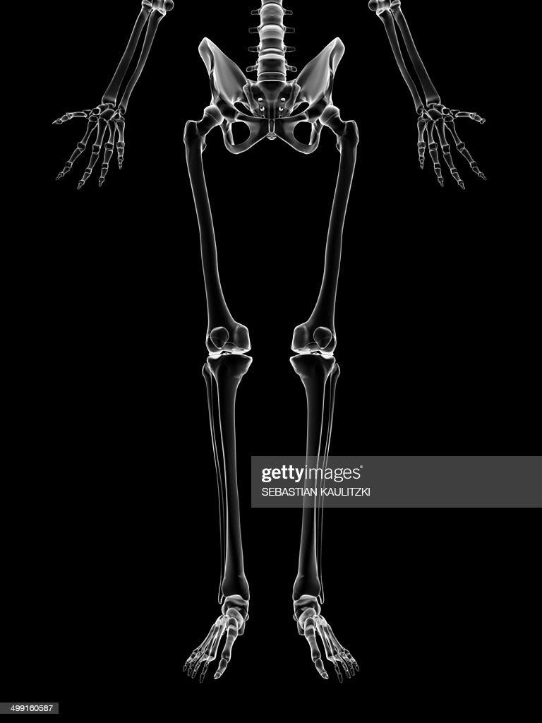 Human Leg Bones Artwork Stock Illustration Getty Images