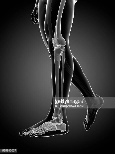 ilustraciones, imágenes clip art, dibujos animados e iconos de stock de human leg bones, illustration - hueso de la pierna
