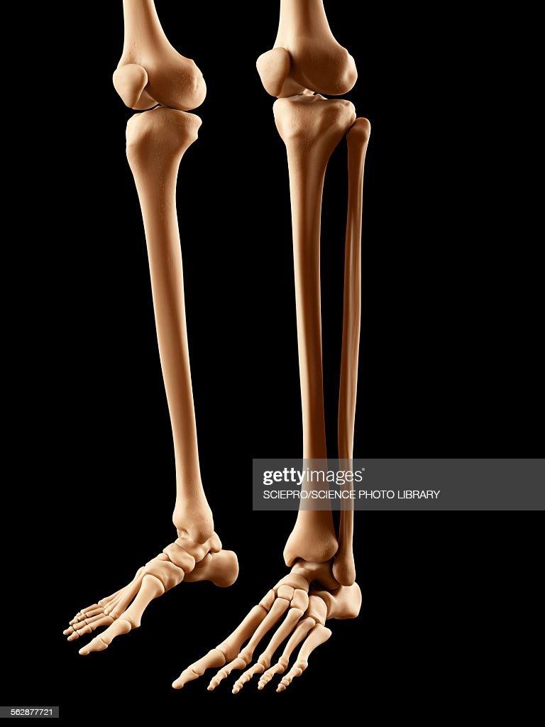 Human Leg Bones Illustration Stock Illustration | Getty Images