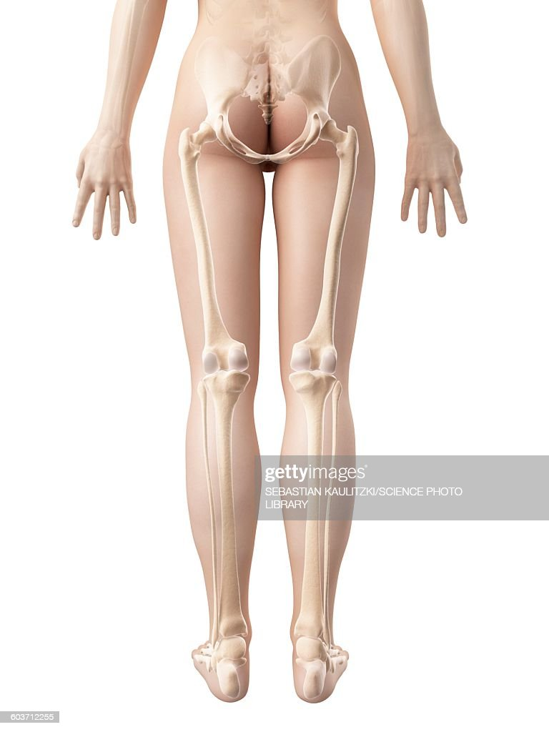 Human Leg Bones Illustration Stock Illustration Getty Images