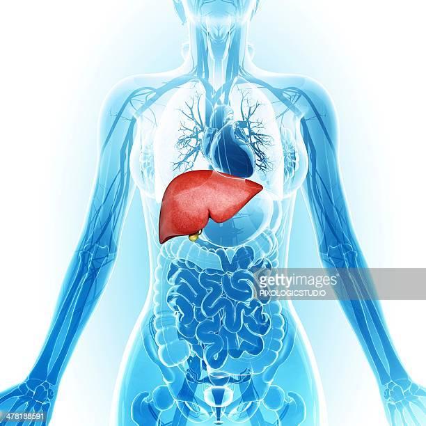 human liver and gall bladder, artwork - human liver stock illustrations, clip art, cartoons, & icons