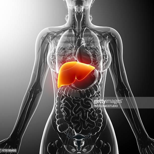 human liver, artwork - small intestine stock illustrations