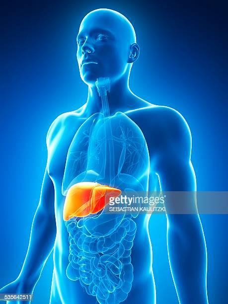 human liver, illustration - liver stock illustrations, clip art, cartoons, & icons