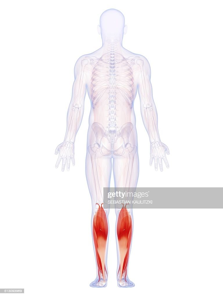 Human Lower Leg Muscles Artwork Stock Illustration Getty Images