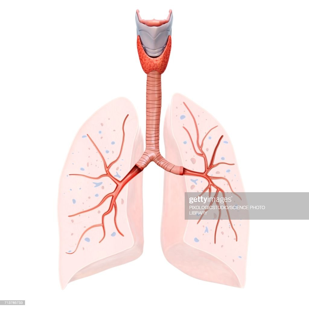 Human Lung Anatomy Illustration Stock Illustration Getty Images